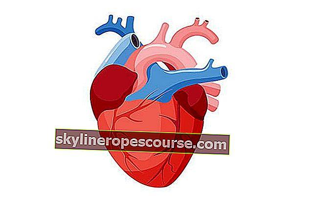 心臓の写真+心臓機能の説明、その仕組み、および心臓病